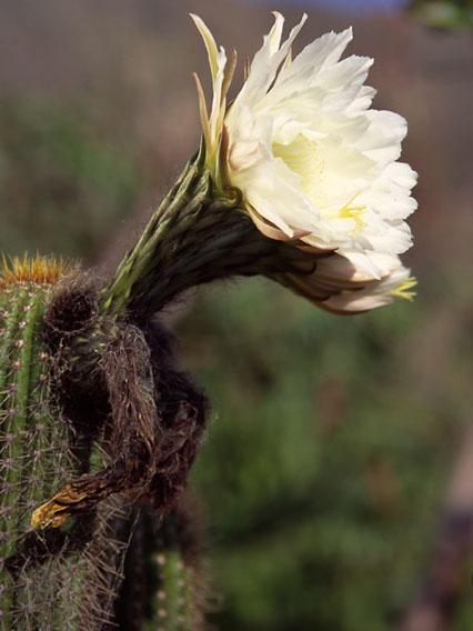 Molly's Cactus